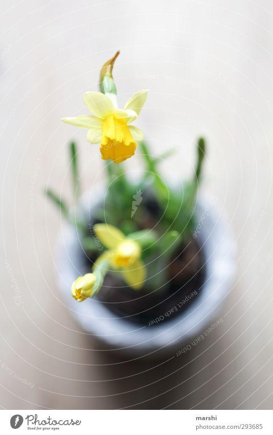 Frühlingsboten Natur Pflanze grün Blume gelb Frühling Perspektive Blühend Gelbe Narzisse
