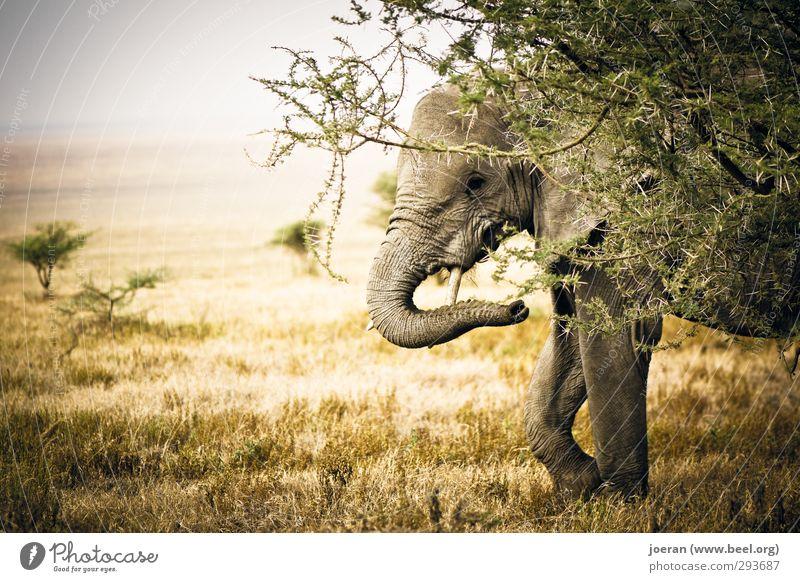 Versteckt! Elefant Neugier Afrika Tansania Serengeti Ngorongoro-Krater Safari verstecken Steppe Savanne beobachten Farbfoto Gedeckte Farben Außenaufnahme