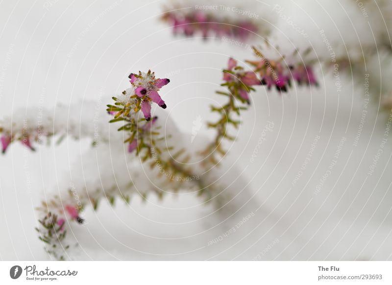 Hoffnung auf bessere Zeiten keimt auf Erholung Winter Schnee Natur Pflanze Klima Eis Frost Sträucher Blüte Grünpflanze Garten Park Blühend träumen verblüht Duft