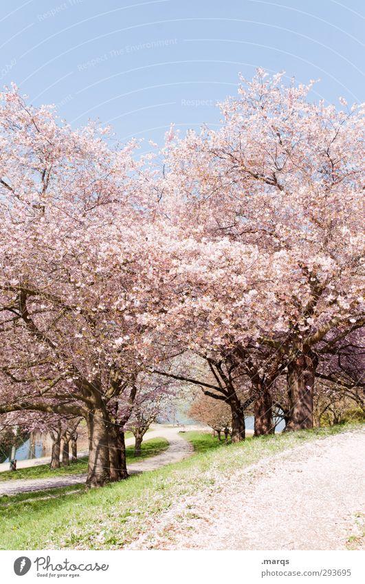 Cherry Natur Landschaft Pflanze Wolkenloser Himmel Frühling Schönes Wetter Gras Kirschbaum Kirschblüten Park Hügel Wege & Pfade frisch hell natürlich schön rosa