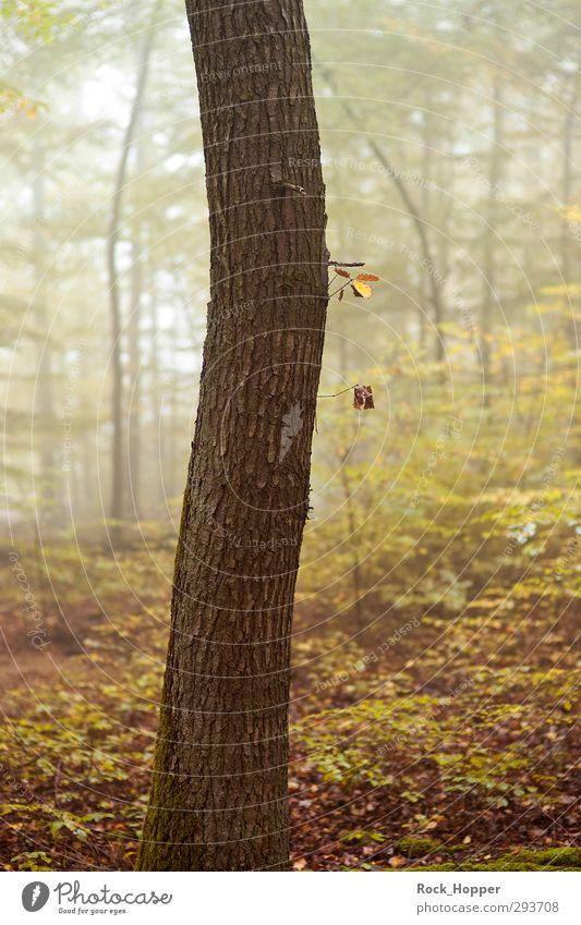 Baum im Nebelwald ruhig wandern Yoga Umwelt Natur Pflanze Herbst Sträucher Blatt Wald Hügel Wege & Pfade Fußweg stehen Wachstum braun gelb gold grün Farbfoto