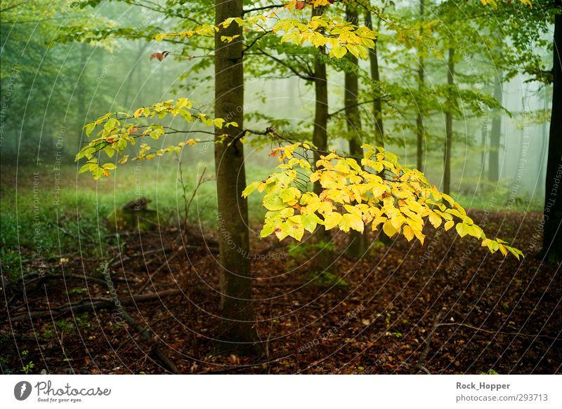 Goldenes Grün harmonisch Erholung ruhig Umwelt Natur Landschaft Pflanze Herbst Nebel Baum Gras Sträucher Moos Blatt Baumrinde Ast Wald Hügel Berge u. Gebirge