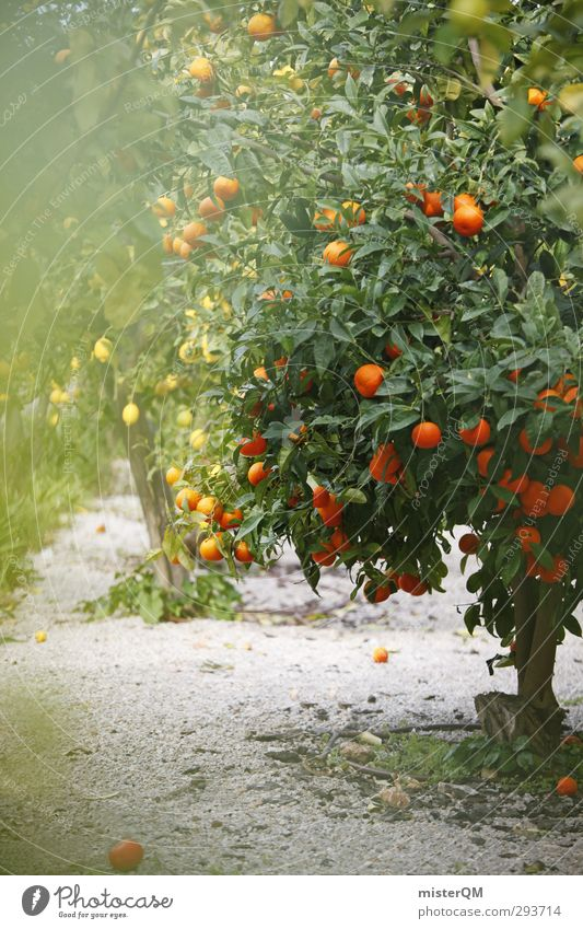 naranja. Sommer Gesunde Ernährung Kunst Frucht Zufriedenheit Orange ästhetisch Blühend Spanien Mallorca Zitrone Europa Plantage Landwirtschaft Blatt Strukturen & Formen