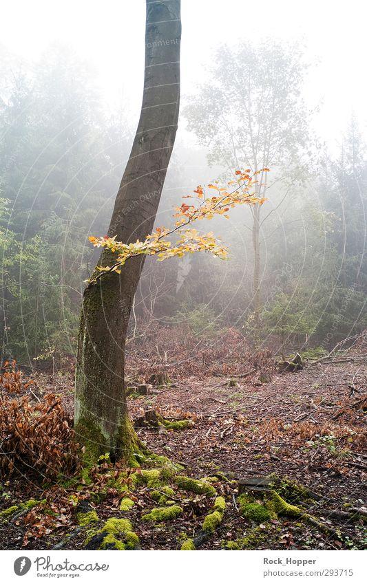 Nebelwald harmonisch Erholung ruhig wandern Umwelt Natur Pflanze Erde Himmel Herbst Baum Sträucher Moos Baumrinde Ast Blatt Wald Hügel Berge u. Gebirge