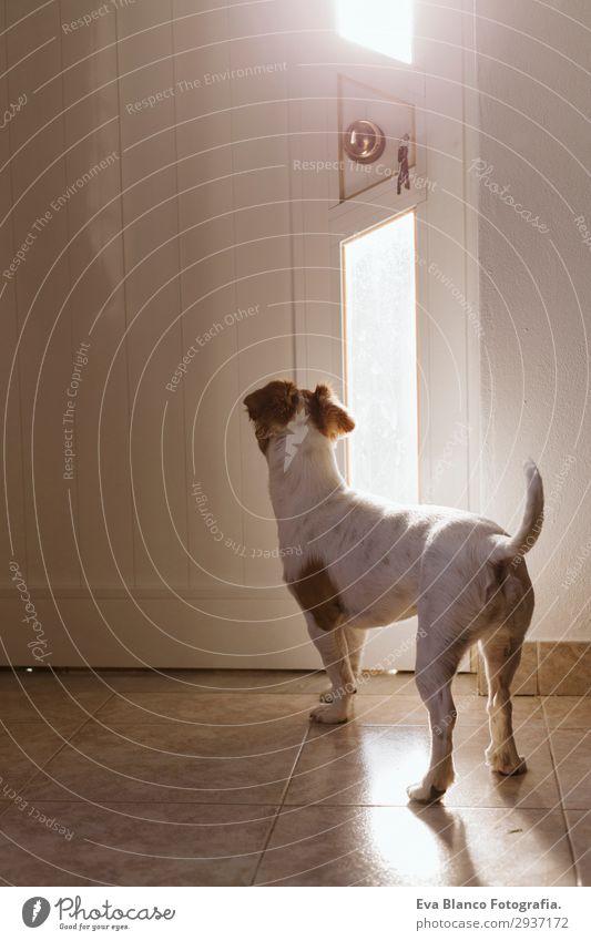 süßer kleiner Hund an der Tür stehend suchend wartend Lifestyle Glück Erholung Sonne Haus Freundschaft Tier Sommer Fenster Haustier 1 beobachten Denken Liebe