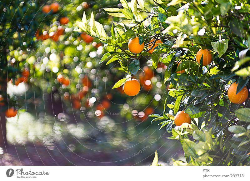 Citrus Garden I Umwelt Natur Pflanze Urelemente Luft Frühling Sommer Klima Schönes Wetter Baum Blatt Grünpflanze Nutzpflanze Garten Feld frisch Gesundheit