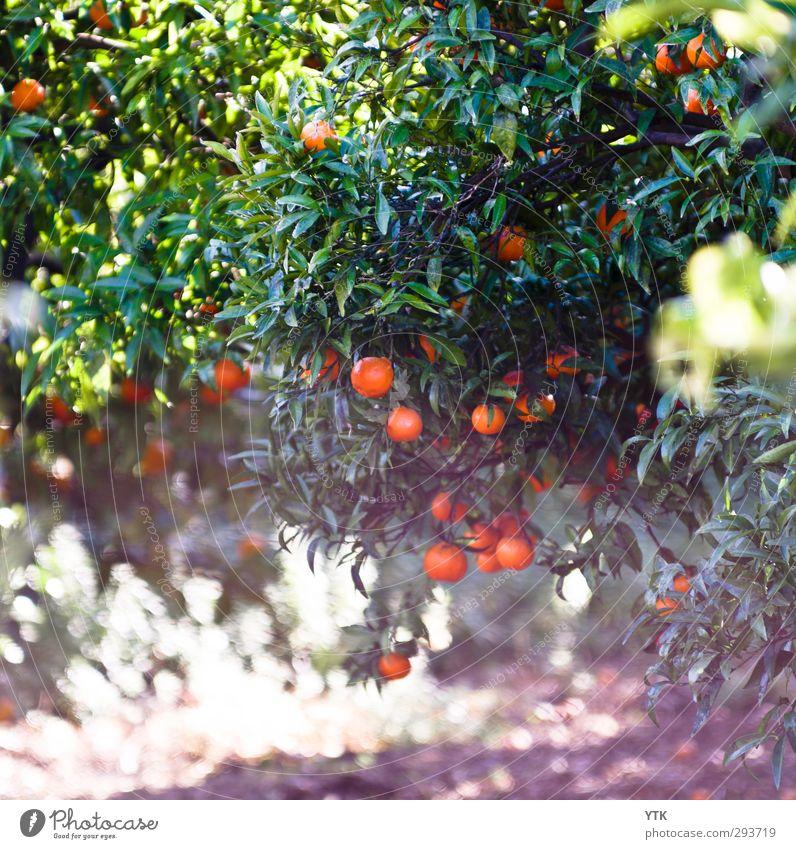 Citrus Garden II Umwelt Natur Pflanze Urelemente Sand Luft Sommer Klima Schönes Wetter Baum Blatt Grünpflanze Nutzpflanze Wiese ästhetisch Duft Wärme orange