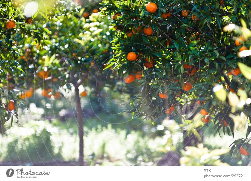 Citrus Garden III Natur Sommer Pflanze Baum Sonne Blatt Umwelt Gras Frühling Blüte Gesundheit Luft Park Feld glänzend Erde