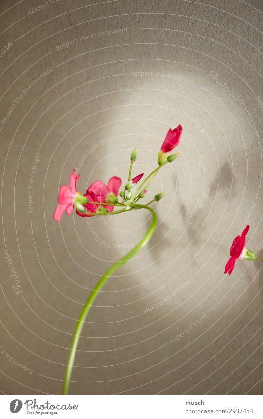 rosa Blümchen zart Romantik Zuwendung grün Vorsicht empfindlich Leichtigkeit Blume Blüte Natur Sommer Theater Linien weiblich Seele gebogen grau Licht Schatten