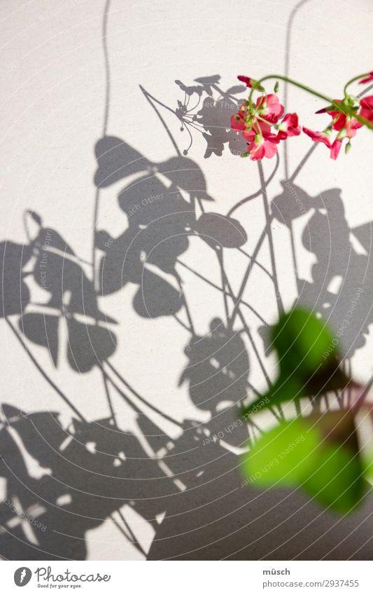 rosa Blümchen mit Schatten zart Romantik Zuwendung grün Vorsicht empfindlich Leichtigkeit Blume Blüte Natur Sommer Theater Linien weiblich Seele Licht Kreis