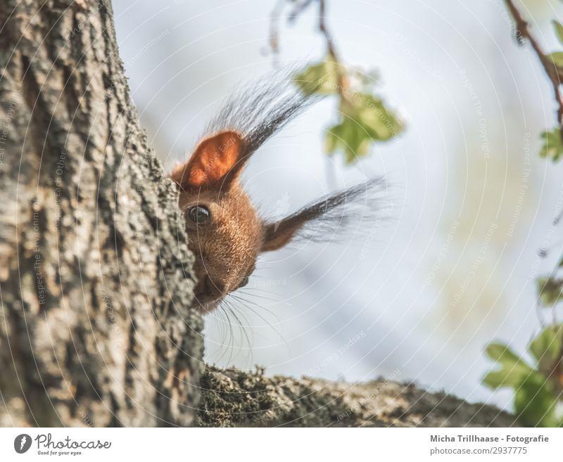 Eichhörnchen schaut neugierig um die Ecke Natur Tier Himmel Sonnenlicht Schönes Wetter Baum Wildtier Tiergesicht Fell Auge Ohr Pinselohren Nase Nagetiere 1