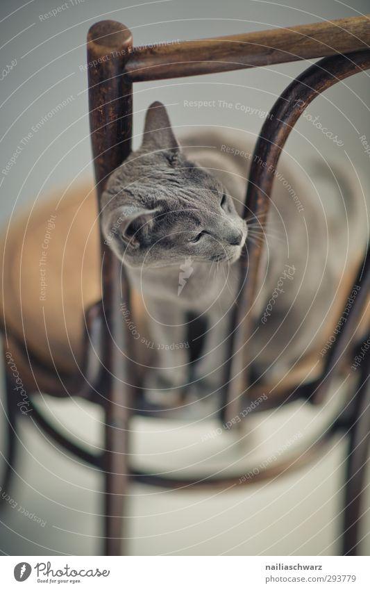Boni Tier Haustier Katze russisch blau 1 Möbel Stuhl Holz beobachten Denken entdecken Erholung hören Blick sitzen warten elegant Freundlichkeit schön Neugier