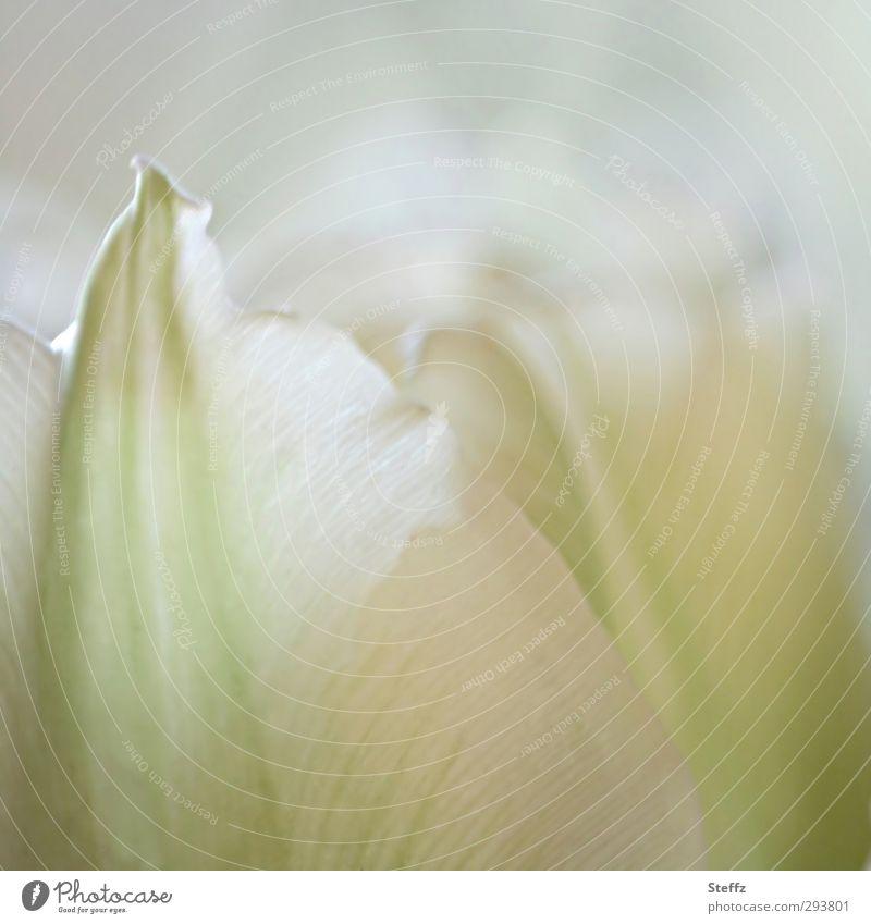 Der Sinn einer Blume.. Valentinstag Natur Frühling Tulpe Blüte Blütenblatt Tulpenblüte Frühblüher Frühlingsblume Blühend frisch hell natürlich weiß