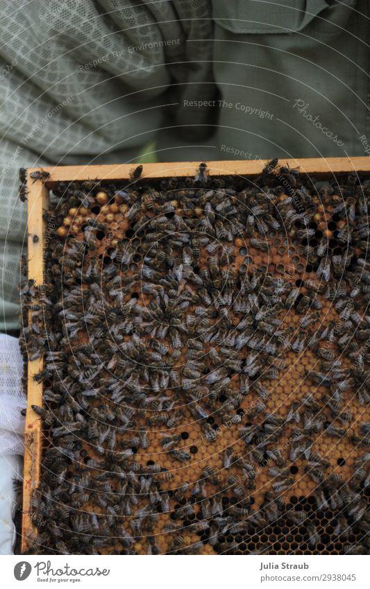 alte weiber Bienen Waben Imker bauen krabbeln authentisch eckig Zusammensein braun Bienenwaben Biennwachs König Farbfoto Außenaufnahme Tag