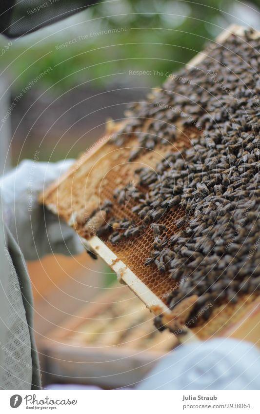 Bienen kontrolle Weißeizelle Schwarm beobachten festhalten Blick außergewöhnlich König Imkern Bienenwaben Rähmchen Wachs Honigbiene Farbfoto Außenaufnahme Tag