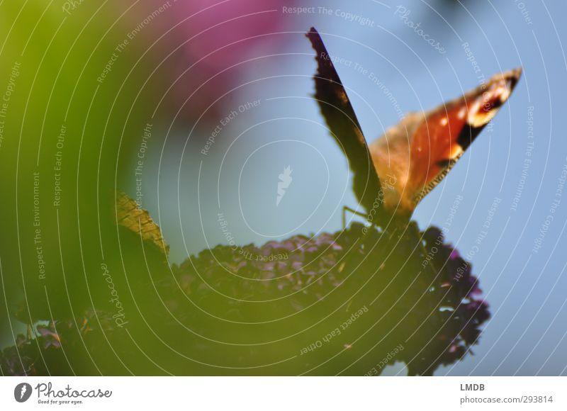 Butterfly-season approaching! Natur Sommer Pflanze Tier Frühling gold Zufriedenheit elegant Fröhlichkeit violett Schmetterling Leichtigkeit Vorfreude beweglich Frühlingsgefühle Fliederbusch