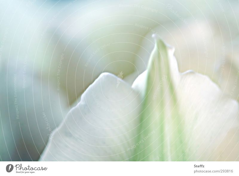 Der Sinn einer Blume.. II Natur Pflanze schön weiß Blüte Frühling hell Blühend Lebensfreude Romantik Wellness zart rein Duft Blütenblatt