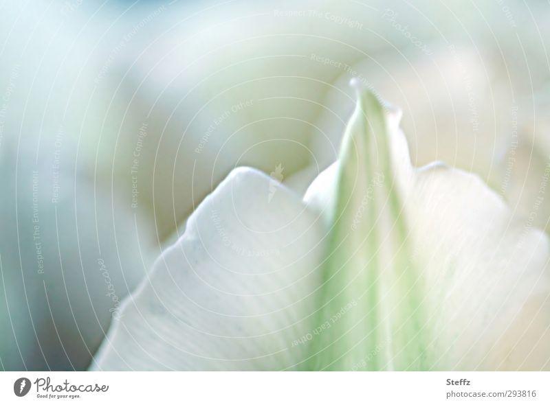 zarte Tulpenblüte blühende Tulpe malerisch romantisch Pastellfarben Frühlingsblume Romantik hellgrün weiß pastellgrün Blüte erblühen Blütenblatt rein lichtvoll