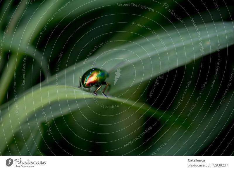 Abgang Natur Pflanze Tier Sommer Gras Blatt Halm Garten Wiese Käfer Ovaläugiger Blattkäfer 1 krabbeln glänzend schön klein grün orange rosa schwarz Leben