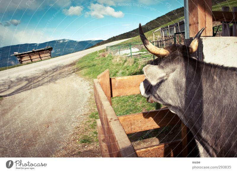 Wo bleibt's die Heidi nur Himmel Natur Tier Wolken Umwelt Wege & Pfade natürlich Schönes Wetter Hütte Kuh Bioprodukte Heimat Biologische Landwirtschaft Südtirol Tierzucht Alm