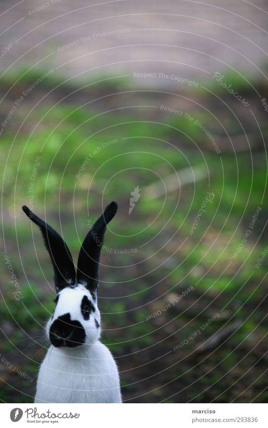 Osterhase Ostern Tier Haustier Nutztier Tiergesicht Fell Pfote Zoo Streichelzoo Hase & Kaninchen Osternest Osterei Ostermontag 1 Löffel schön kuschlig niedlich