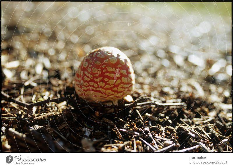 junger Fliegenpilz Lifestyle Freizeit & Hobby Kunst Natur Pflanze Tier Herbst Klima Pilz Wald Zeichen glänzend Wachstum ästhetisch authentisch frisch natürlich