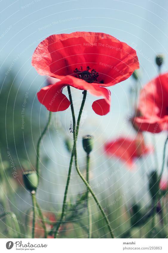 am Träumen Umwelt Natur Landschaft Pflanze Blume grün rot sommerlich Sommer Mohn Mohnblüte Mohnfeld Mohnkapsel Mohnblatt Schönes Wetter schön Farbfoto