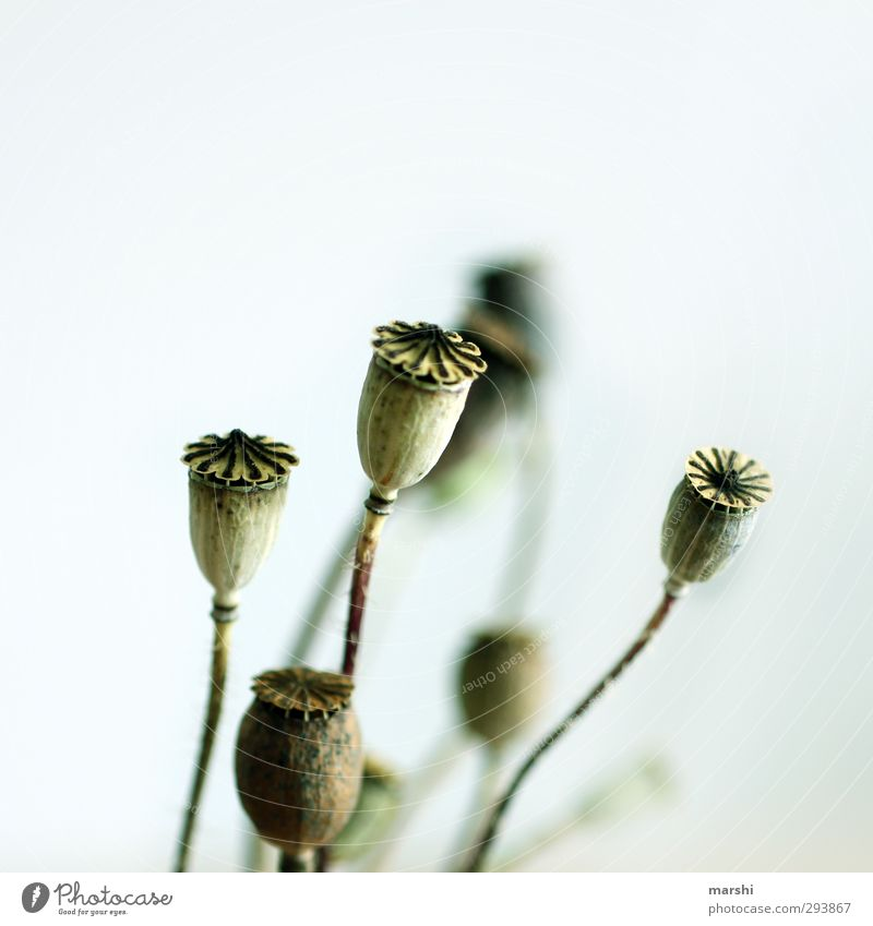 Mohntage Natur blau grün Pflanze Blume Mohnfeld Kapsel Mohnkapsel