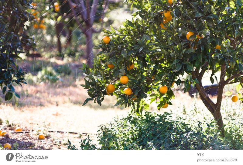 Citrus Garden IV Umwelt Natur Pflanze Urelemente Sand Luft Sonne Sonnenaufgang Sonnenuntergang Sonnenlicht Frühling Sommer Wetter Schönes Wetter Baum Gras