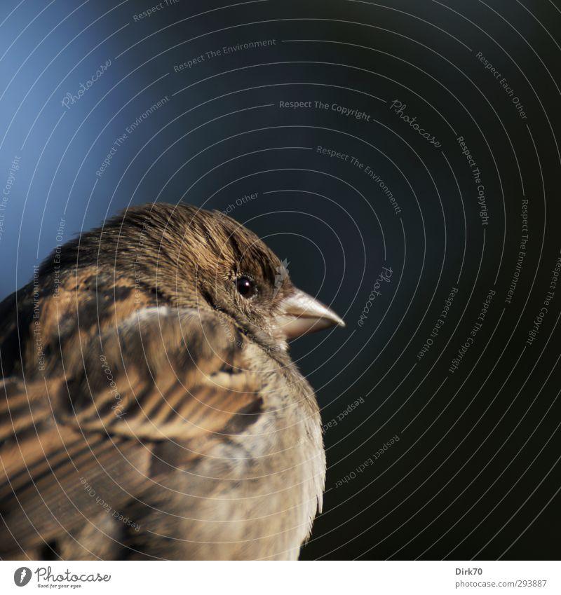 Schulterblick vom Spatz blau Tier Winter schwarz grau klein braun natürlich Vogel wild Wildtier frei niedlich beobachten frech klug