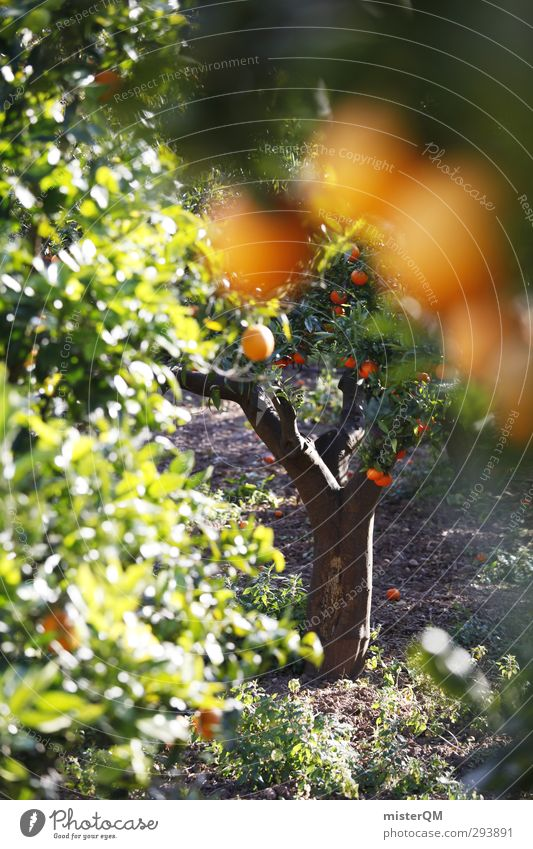 The Forbitten. Kunst ästhetisch Zufriedenheit Orange Orangensaft Orangenbaum Orangenhain Ernte Gesunde Ernährung Mallorca Spanien Saison Natur Ackerbau