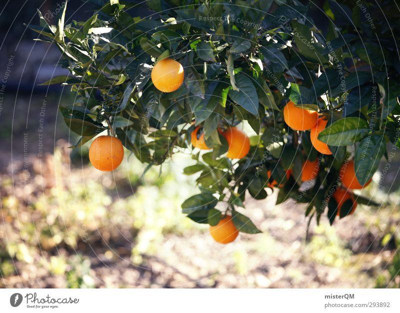 bitter aftertaste. Kunst ästhetisch Zufriedenheit Orange Wachstum reif Frucht Orangensaft Orangenschale Orangenhain Orangenbaum Plantage Farbfoto