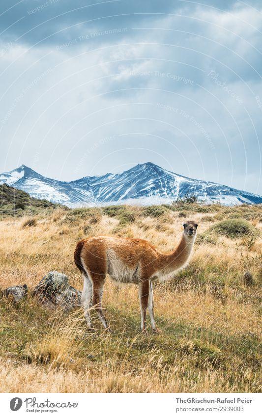 Guanaco Tier 1 blau braun grau weiß guanaco Lama Berge u. Gebirge Alpaka Fell weich Steppe Patagonien Chile Wolken Wind Farbfoto Außenaufnahme Menschenleer