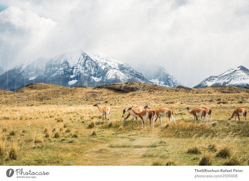 Guanaco Herde Tier Tiergruppe braun grau schwarz weiß Alpaka Lama guanaco guanako Lebewesen Außenaufnahme wild Steppe Berge u. Gebirge wandern Patagonien Chile