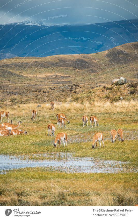 Guanaco Herde Tier Tiergruppe blau braun grün Patagonien Lama Alpaka Außenaufnahme Fressen trinken guanako guanaco Stein Steppe Hügel Berge u. Gebirge
