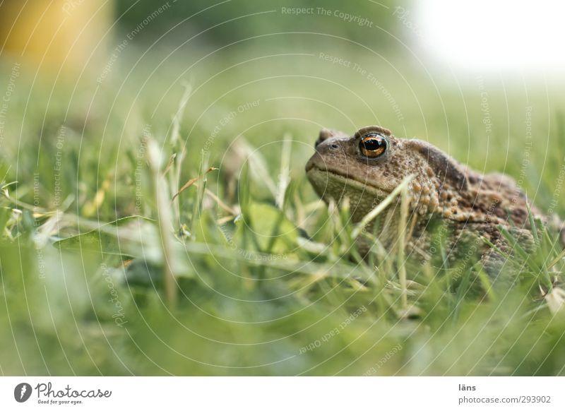 ... ich bin ein Prinz Umwelt Natur Gras Wiese Tier Frosch 1 leuchten Blick warten Gelassenheit Kröte Rasen Deckung Schlechte Laune Farbfoto Außenaufnahme