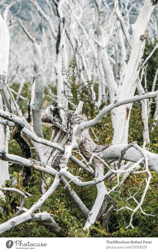 Geisterwald Umwelt Natur Landschaft ästhetisch weiß Holz Nationalpark Torres del Paine NP Chile Wald Waldbrand verbrannt Tourismus grün neu Wachstum Tod rau
