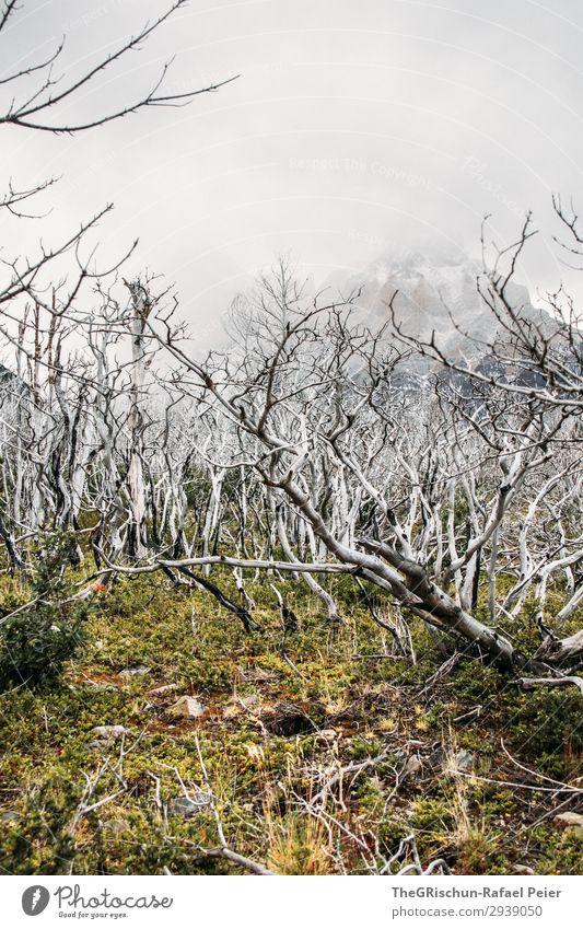 Geisterwald Umwelt Natur Landschaft grün schwarz weiß Moringa Baum Wald Holz verbrannt Gras Wolken Bergen Torres del Paine NP Nationalpark Farbfoto