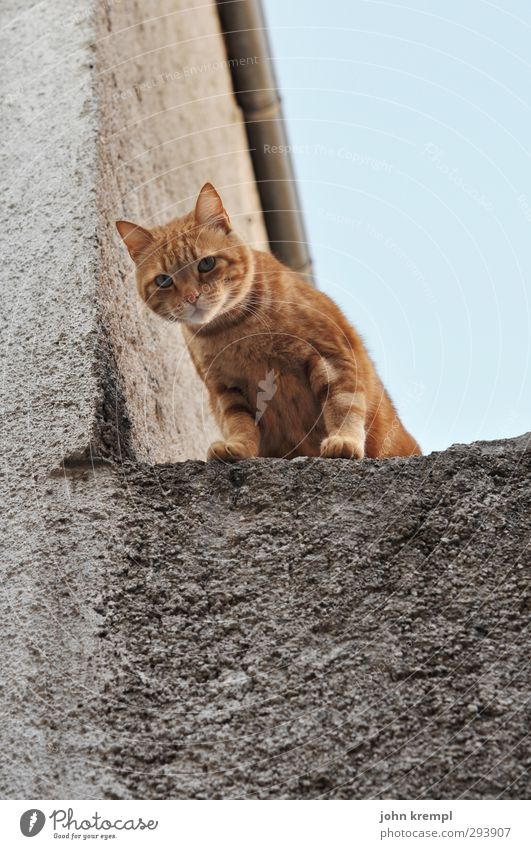 Wir kaufen nix Mauer Wand Katze 1 Tier beobachten Blick stehen weich orange Wachsamkeit Neugier Klettern Pfote Außenaufnahme Menschenleer Abend