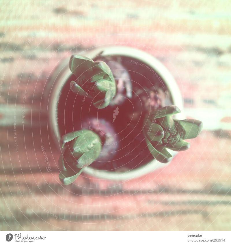 drei komiker Pflanze Frühling Winter Topfpflanze Duft Freundlichkeit hell unten weich mehrfarbig Spaßvogel Hyazinthe Knolle Farblosigkeit ruhig Blütenknospen