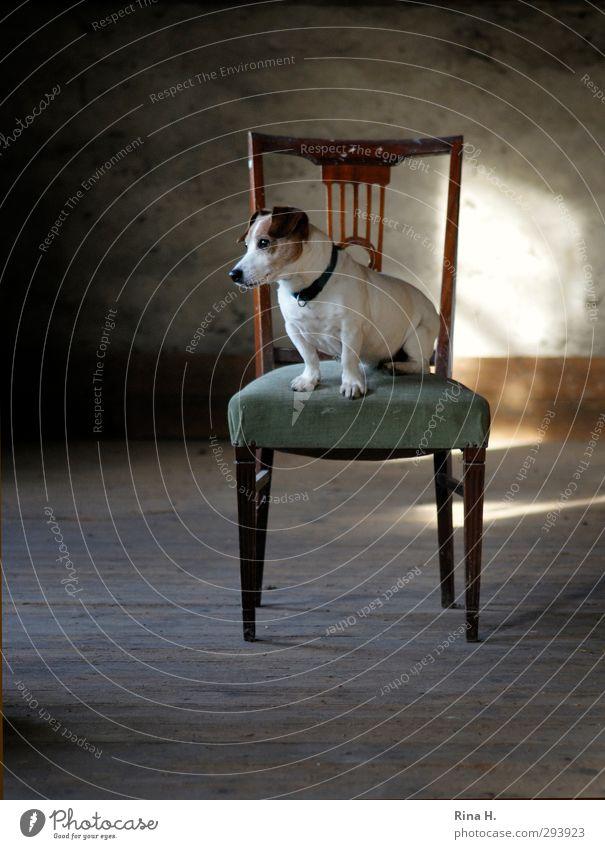 Hundeleben Stuhl Dachboden Tier Haustier 1 sitzen warten Freude Tierliebe Langeweile Terrier Jack-Russell-Terrier Farbfoto Innenaufnahme Menschenleer