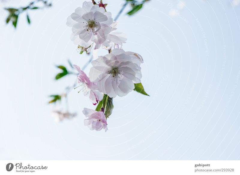 Frühling olé Natur Pflanze Wolkenloser Himmel Schönes Wetter Baum Blatt Blüte Kirschblüten Blühend schön Wärme blau rosa Frühlingsgefühle Vorfreude Beginn Farbe