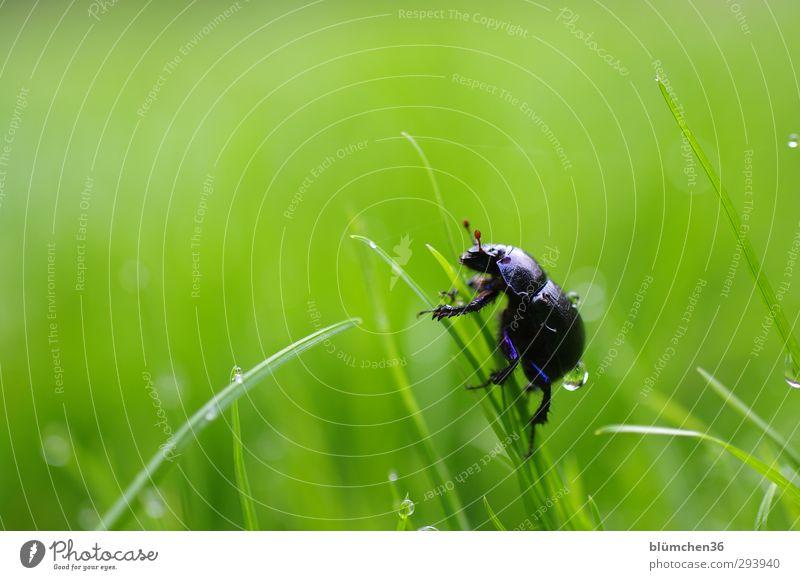 Steil bergauf!!! Natur blau grün Tier Wiese Gras Bewegung Metall natürlich glänzend laufen Wassertropfen rund Lebensfreude Neugier Insekt