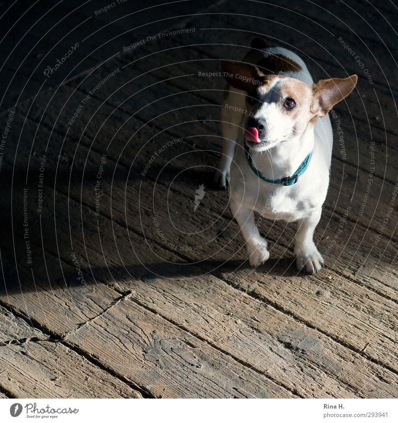 bitte noch einen Tier Hund 1 füttern authentisch Freundlichkeit Freude Glück Wunsch betteln brav gehorsam Terrier Jack-Russell-Terrier Halsband Holzfußboden