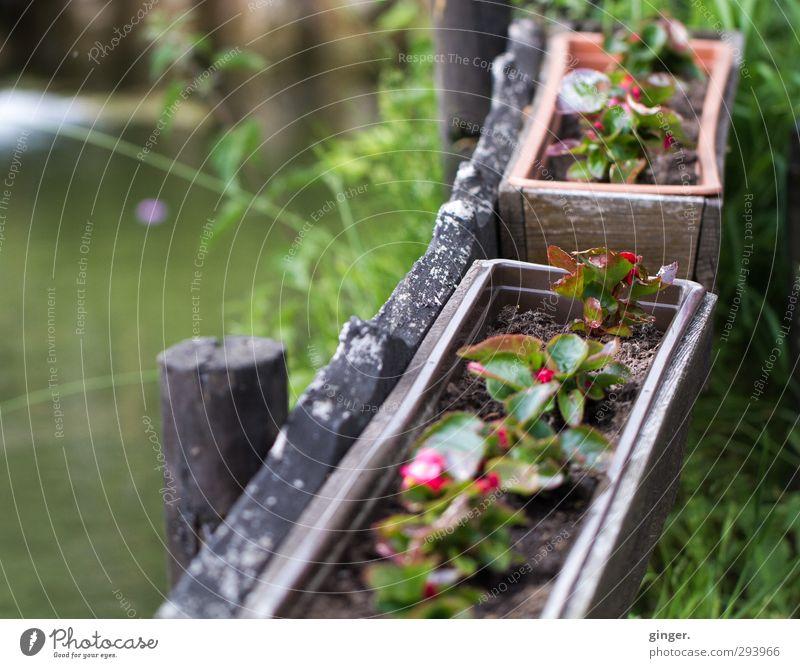 Blümchen im Kasten am Teich Umwelt Natur Pflanze Wasser Frühling Wetter Blume Topfpflanze braun grün rot Blumenkasten klein Jungpflanze Gras Wachstum