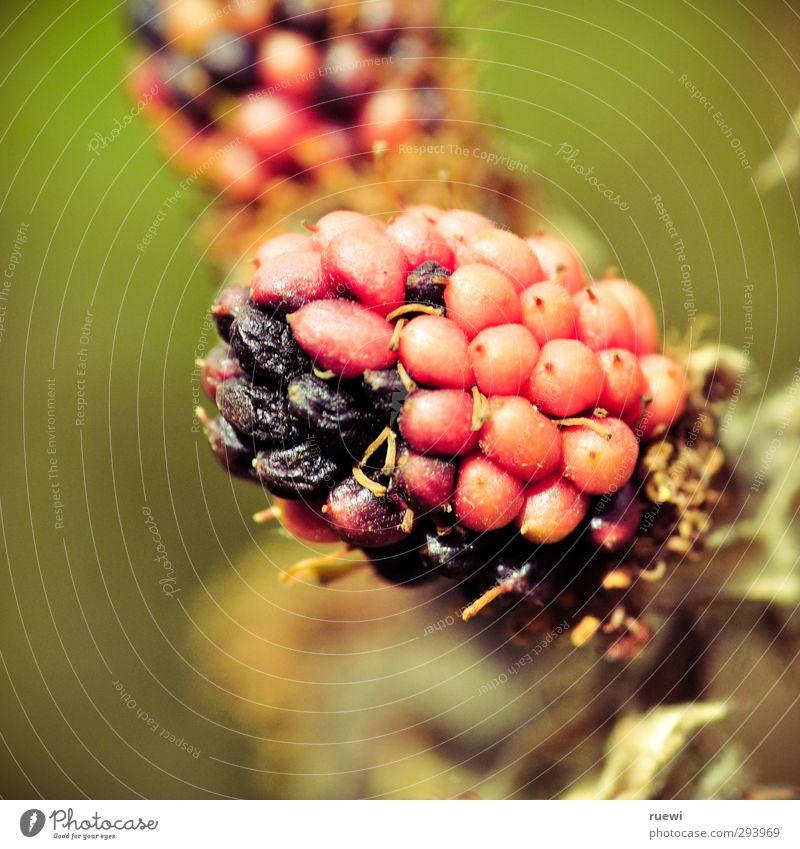 Mittlere Reife Natur alt grün Pflanze Sommer rot schwarz Umwelt Wärme Gesunde Ernährung Garten Lebensmittel Frucht Schönes Wetter Landwirtschaft