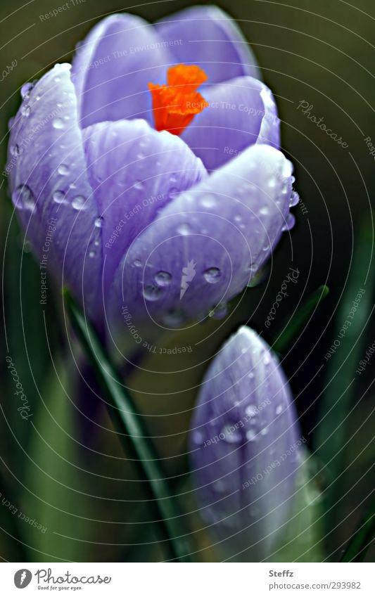 Frühling, komm doch endlich Natur Regen Pflanze Blume Blüte Krokusse Frühlingskrokus Frühlingsblume Frühblüher Blütenblatt Blütenstempel Blühend nass natürlich
