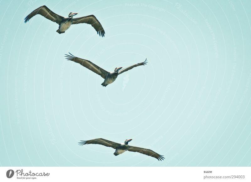 Überflieger exotisch Sommer Umwelt Natur Tier Urelemente Luft Himmel Wolkenloser Himmel Klima Schönes Wetter Wildtier Vogel 3 fliegen blau Pelikan hell-blau
