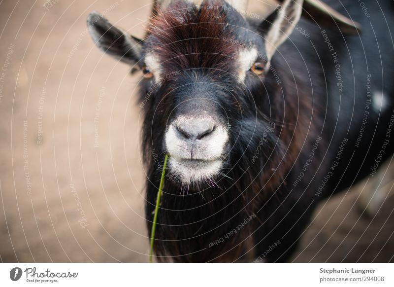 Hi! Umwelt Tier Nutztier Zoo Streichelzoo 1 Fressen Blick Neugier Sympathie Tierliebe Ziegen zahm Farbfoto Menschenleer Textfreiraum links