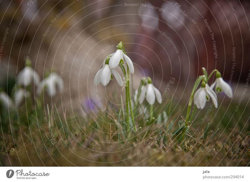 es wird zeit... Natur schön Pflanze Blume Umwelt Wiese Gras Frühling Garten natürlich Vorfreude Frühlingsgefühle Schneeglöckchen